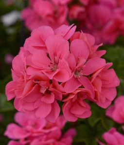 Ivy Geranium Precision™ Series NEW FOR 2021 Image