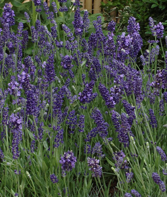 Ellagance Purple Image