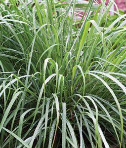 Lemon Grass Image